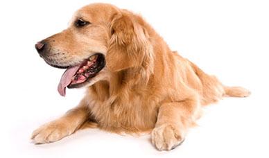 Niewydolność u psa